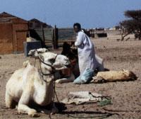 Vorbereitung zum Kamel Ritt