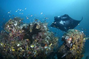 Korallenriff mit Manta