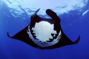 Manta vor den Malediven