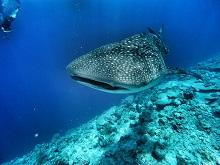 Walhai vor den Malediven